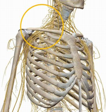 神経図、肩~鎖骨