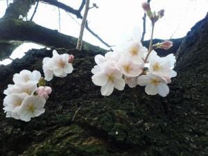 東工大 桜 3/23(水)