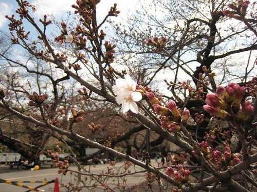 東工大の桜 3/26(土)1