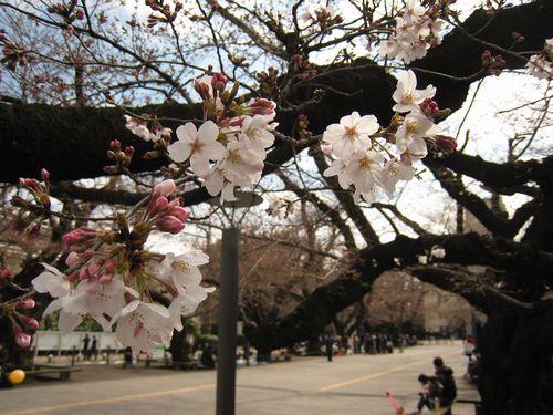 東工大の桜 3/26(土)2