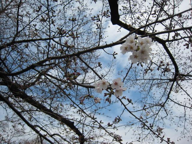 東工大,桜,160327-1