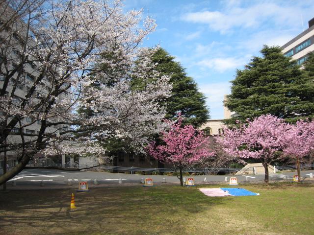 東工大,桜,160327-3