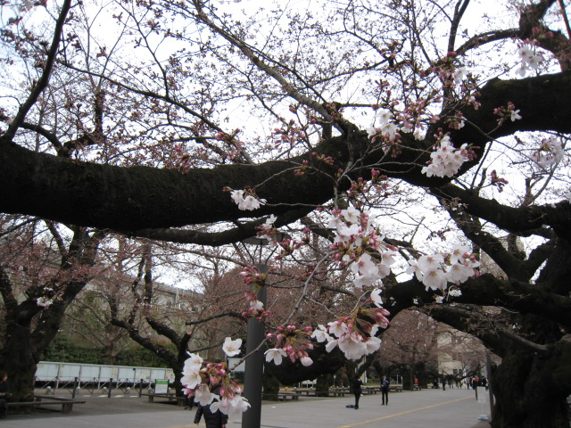 東工大,桜,3/28(月)