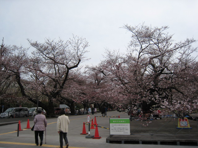 東工大,桜,3/30(水)1