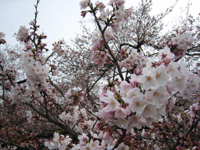 東工大,桜,3/30(水)2