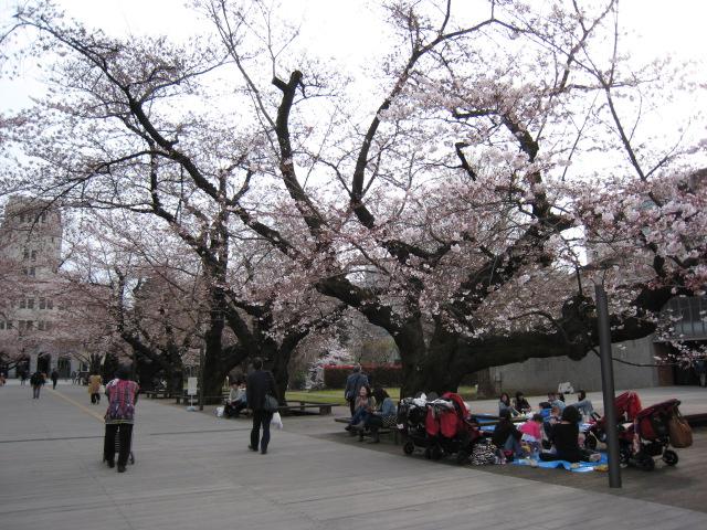 東工大,桜,3/30(水)3