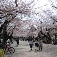 東工大,桜,3/31(木)3