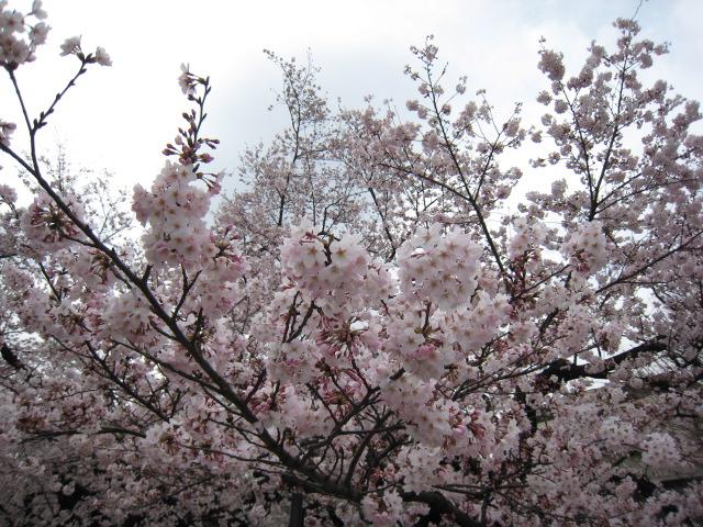 東工大,桜,4/1(金)5