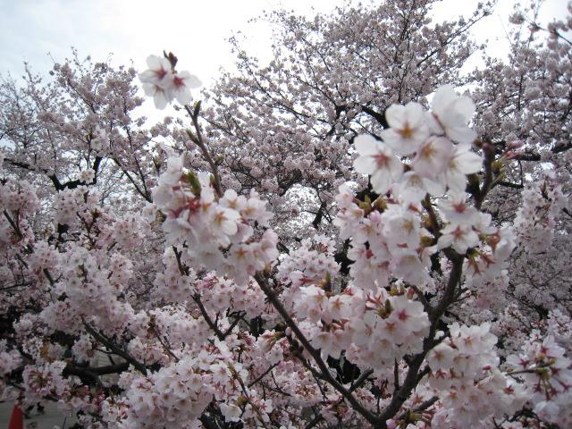 東工大,桜,4/1(金)2