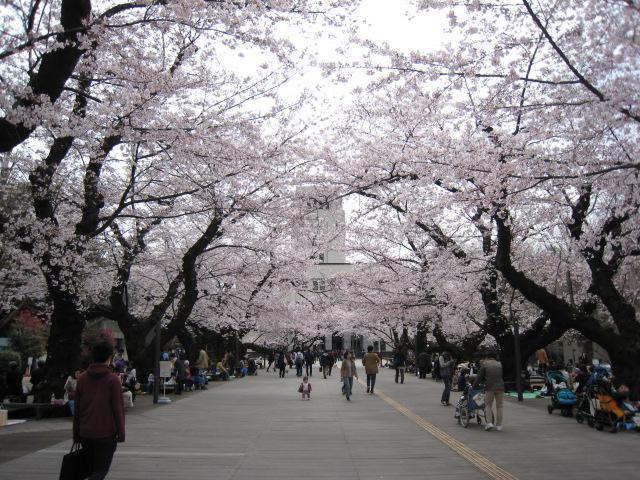 東工大,桜,4/1(金)1
