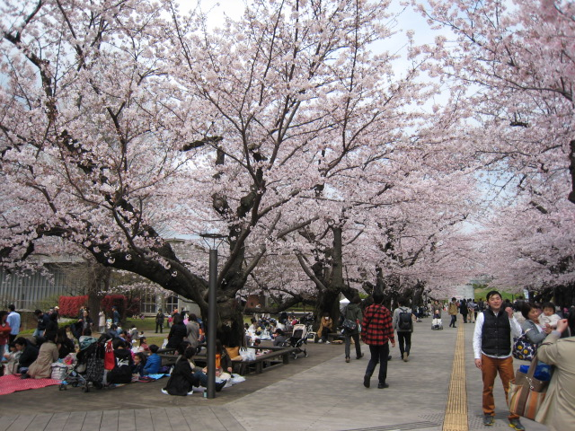 東工大,桜,4/1(金)4