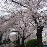 都立大緑道の桜1