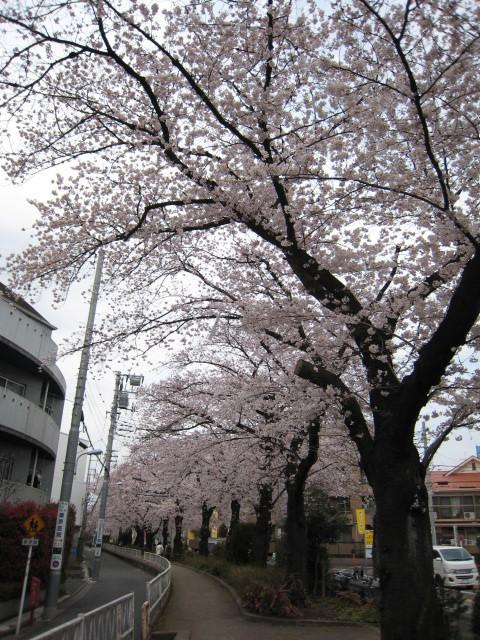 都立大緑道の桜2