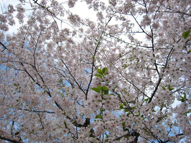 東工大の桜4/6(水)2