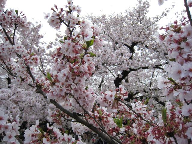 東工大の桜4/6(水)5