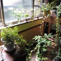 観葉植物160408
