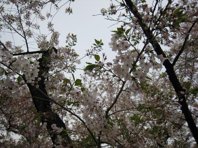 東工大の桜4/10(日)1