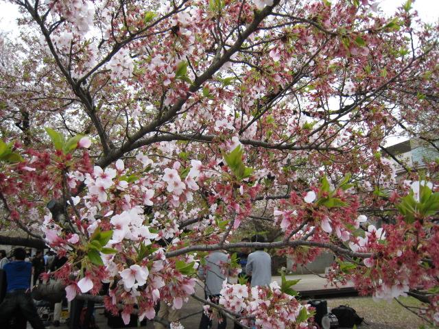 東工大の桜4/10(日)5