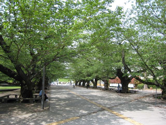 東工大の桜の木20160425-4