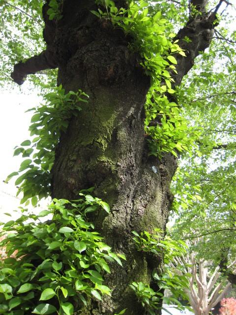 東工大の桜の木20160425-3