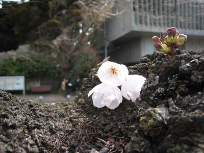東工大桜 2017.3.29-3