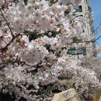 東工大桜 2017.4.5-4