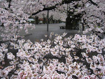 東工大桜 2017.4.9-4