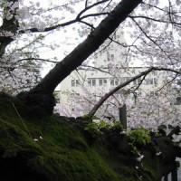 東工大桜 2017.4.9-5