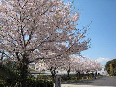 東工大桜 2017.4.13-7
