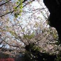 東工大桜 2017.4.14-2