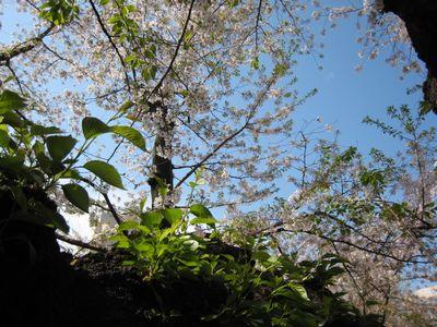 東工大桜 2017.4.15-2