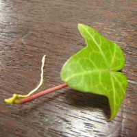 アイビーの葉2