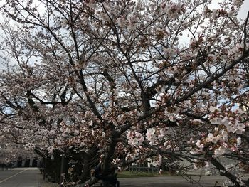 東工大の桜 2018.3.24②