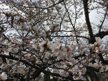 東工大の桜 2018.3.24③