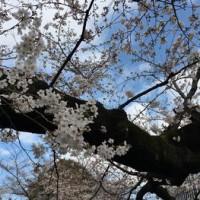 東工大の桜 2018.3.24⑤