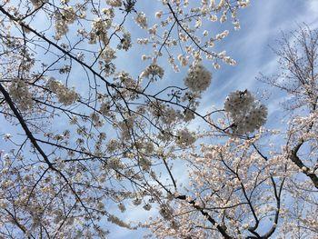 東工大の桜 2018.3.26④