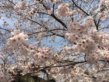 東工大の桜 2018.3.26⑤