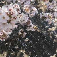 東工大の桜 2018.3.29②