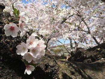 東工大の桜 2018.3.29③