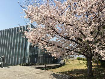 東工大の桜 2018.3.29④