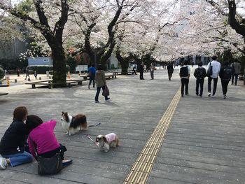 東工大の桜 2018.3.30③
