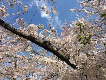 東工大の桜 2018.3.30①