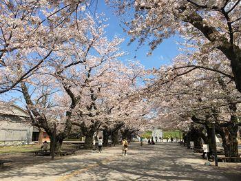 東工大の桜 2018.3.30②