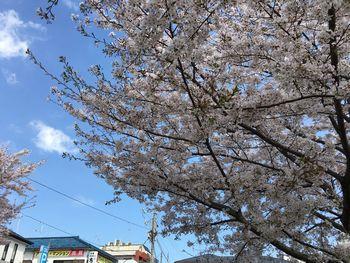 東工大の桜 2018.3.30④