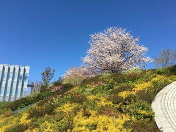 今日の東工大の桜 2019年4月11日(木)-5
