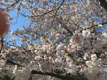 今日の東工大の桜 2019年4月4(木)-2